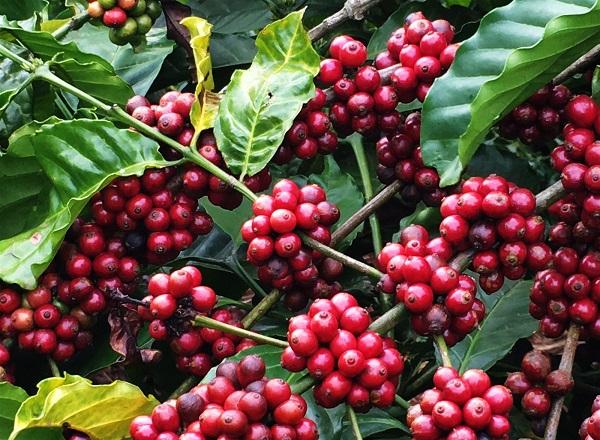 cranberry-la-qua-gi