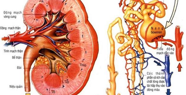 quá trình lọc máu của thận là một phần trong chức năng của thận