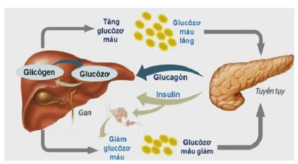 Sơ đồ chức năng của tuyến tụy sinh học 8