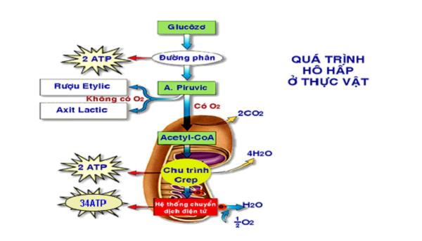 hô hấp hiếu khí là gì