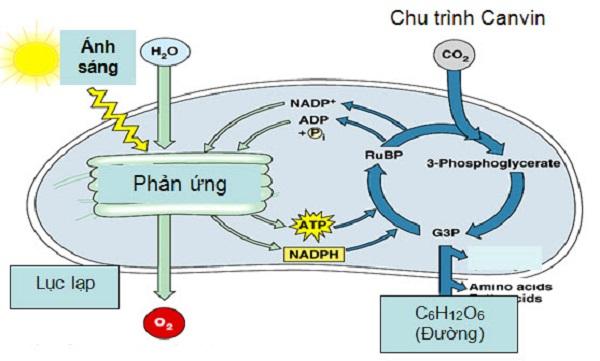 quá trình hô hấp ở cây xanh