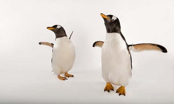 chim cánh cụt ở môi trường đới lạnh