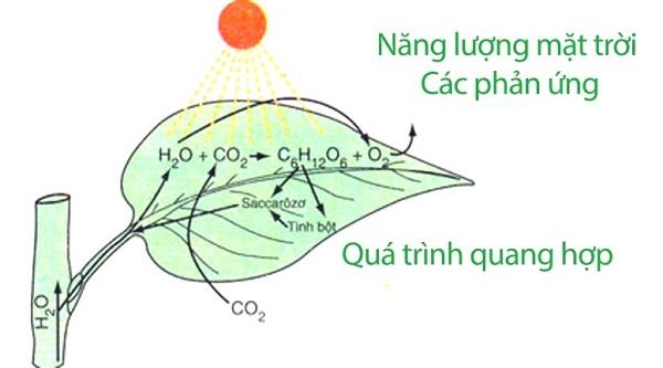 quang hợp là gì và sơ đồ quá trình quang hợp ở thực vật