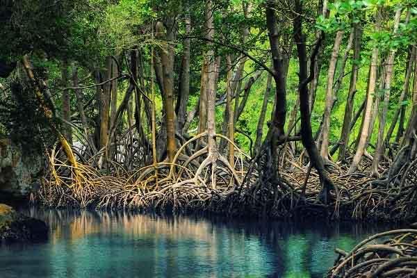 rừng ngập mặn là gì và hình ảnh về đuốc ở rừng ngập mặn