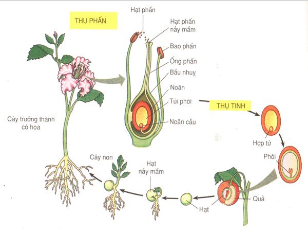 Sơ đồ phát triển của thực vật hạt kín