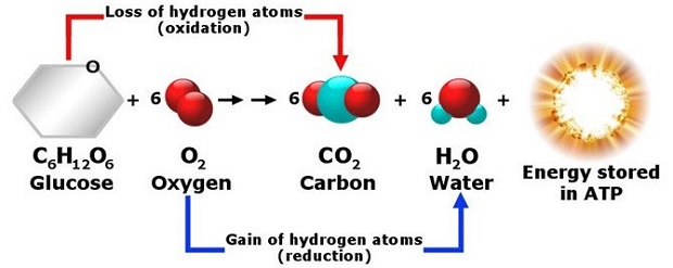 ý nghĩa của hô hấp hiếu khí