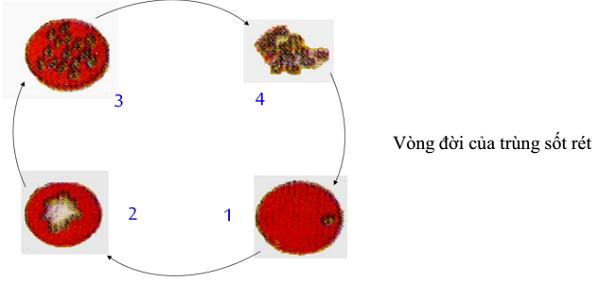 cấu tạo của trùng kiết lị và vòng đời của trùng sốt rét