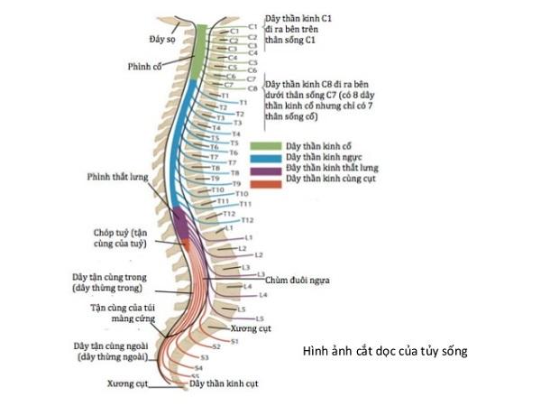 chức năng của rễ tủy và cấu tạo của tủy sống