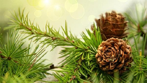 cơ quan sinh sản của cây thông là gì và đặc điểm của cây thông