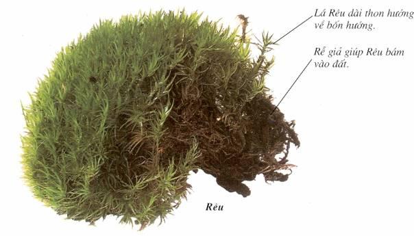 rêu là thực vật bậc cao hay thấp và hình ảnh minh họa về rêu