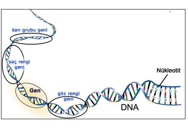 đặc điểm của and trong bài 17 mối quan hệ giữa gen và arn