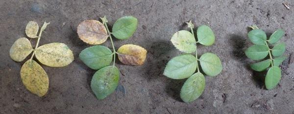 bài 5 dinh dưỡng nitơ ở thực vật và hình ảnh lá cây thiếu nitơ
