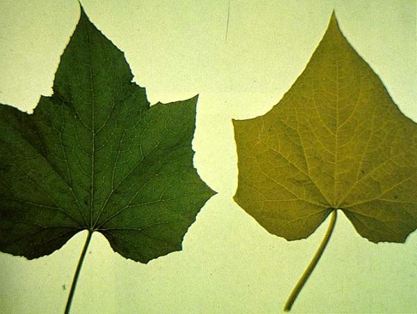 bài 5 dinh dưỡng nitơ ở thực vật và lá cây khi thiếu nitơ
