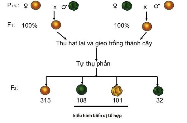 bài tập lai hai cặp tính trạng sinh học 9 và hình ảnh minh họa