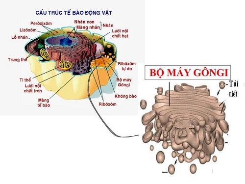 chức năng của bộ máy gôngi và cấu tạo chi tiết của bộ máy gôngi