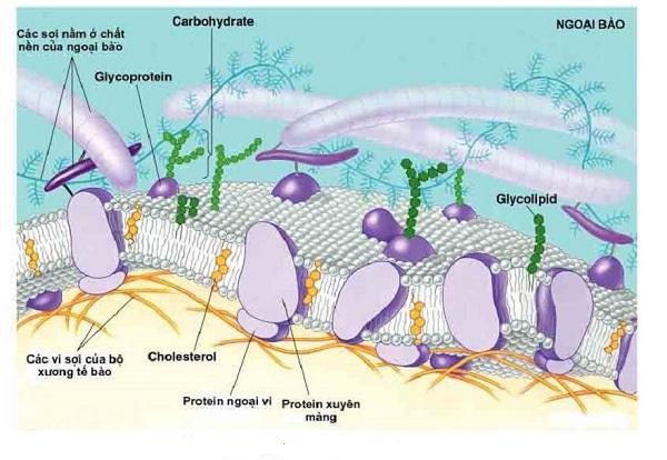 chức năng của protein màng và vị trí của protein màng trên màng sinh chất
