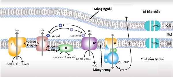 chức năng của protein màng và hình thức vận chuyển của protein màng