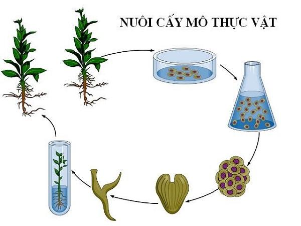 cơ sở tế bào học của nuôi cấy mô và hình ảnh minh họa
