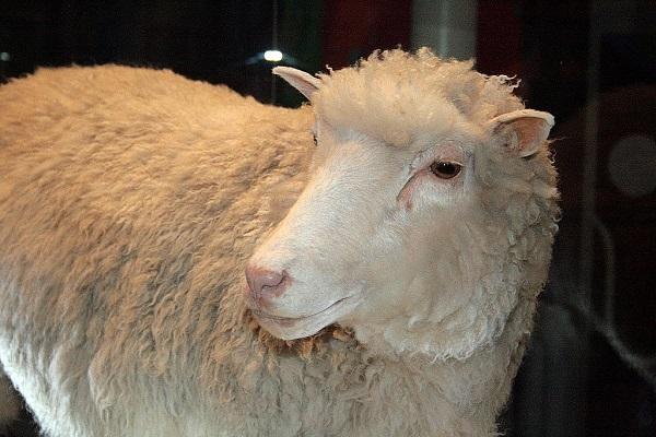 cơ sở tế bào học của nuôi cấy mô và hình ảnh minh họa cừu dolly
