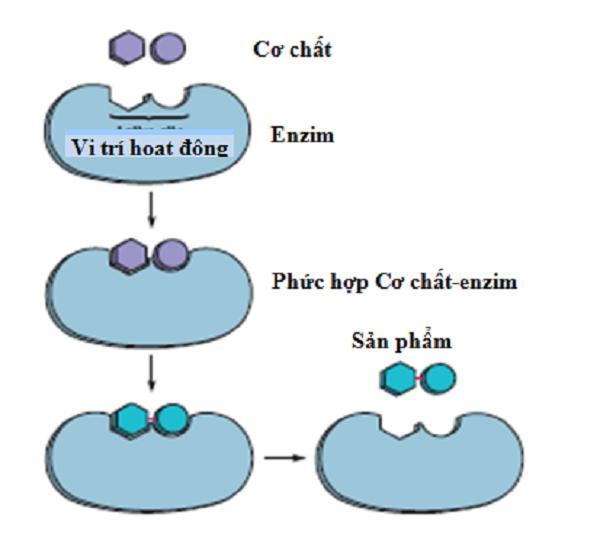 enzim trong nước bọt có tên là gì? enzim xuất hiện ở các tế bào sống, enzim trong nước bọt có tên là amilaza