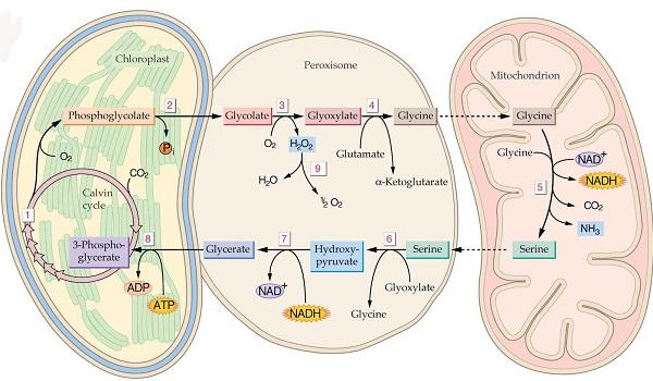 sơ đồ quá trình hô hấp sáng ở thực vật c3