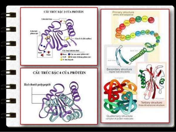 protein dạng sợi và tính chất của protein