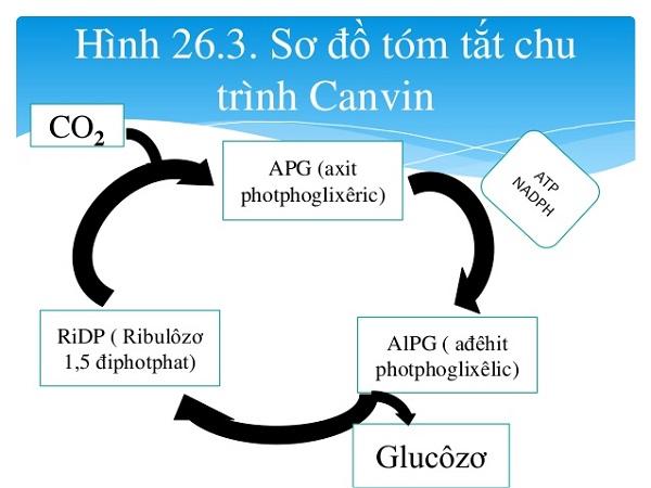 sản phẩm của chu trình canvin và các giai đoạn của chu trình canvin