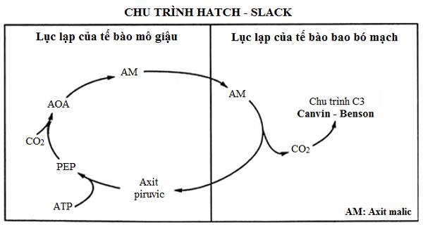 tại sao thực vật c4 có năng suất cao nhất và sơ đồ quá trình quang hợp ở thực vật c4