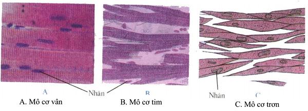 tế bào cơ trơn có hình dạng và cấu tạo cùng hình ảnh của 3 loại mô cơ