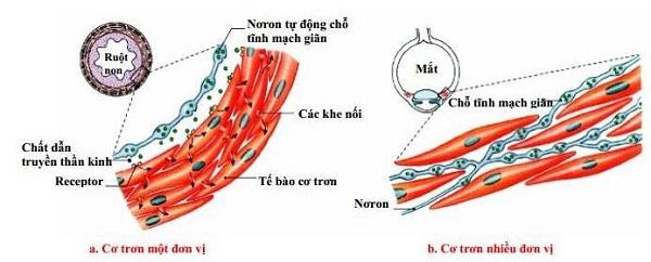 tế bào cơ trơn có hình dạng và cấu tạo như nào cùng với những thành phần tạo nên cơ trơn