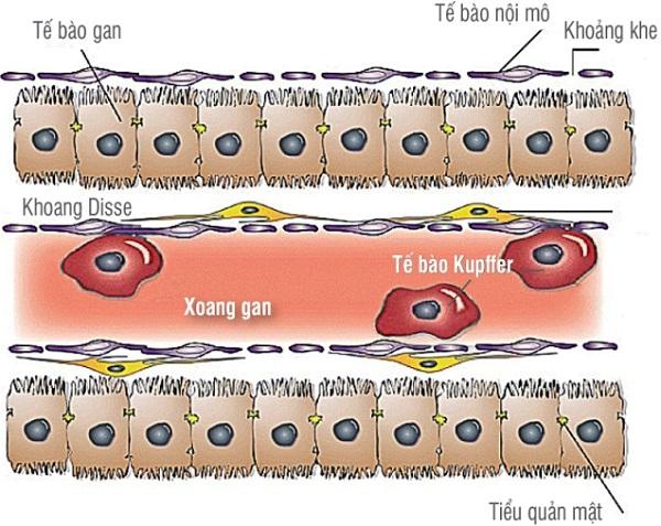 tế bào kupffer là gì và hình ảnh minh họa