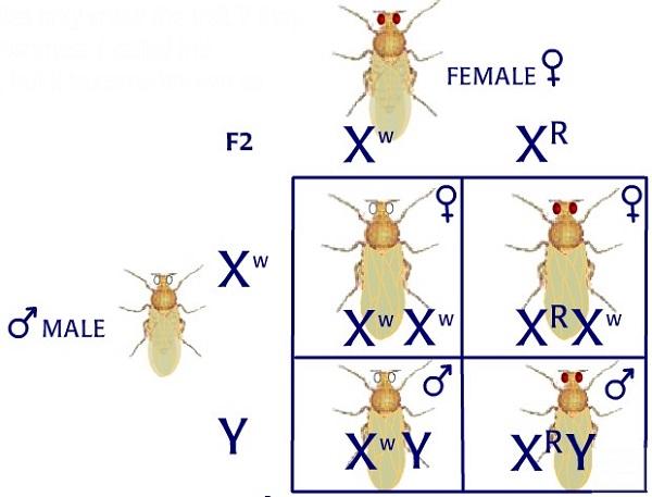 thí nghiệm của moocgan được thực hiện trên ruồi giấm