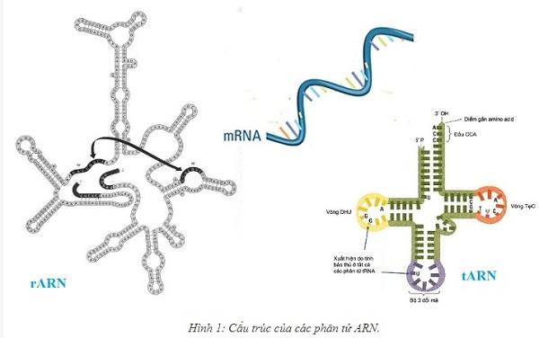 chức năng của arn và trình bày mối quan hệ giữa adn arn và protein