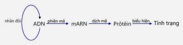 mối quan hệ giữa gen và tính trạng và trình bày mối quan hệ giữa adn arn và protein