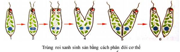 trùng roi là gì và cách sinh sản của trùng roi