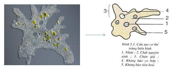hình ảnh và cấu tạo của trùng biến hình bắt mồi