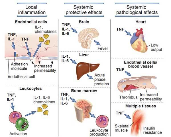 cơ chế hoạt động của interleukin 6 là gì