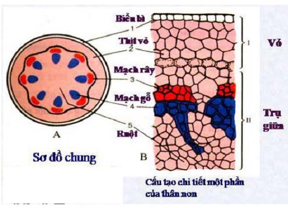 tìm hiểu và so sánh cấu tạo trong của thân non và rễ