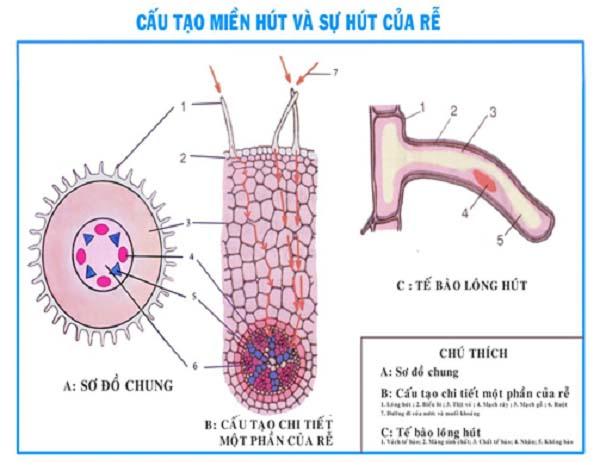 so sánh cấu tạo trong của thân non và rễ và hình ảnh cấu tạo rễ