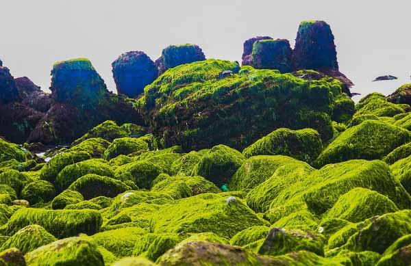 tìm hiểu và so sánh đặc điểm cấu tạo của rêu với tảo