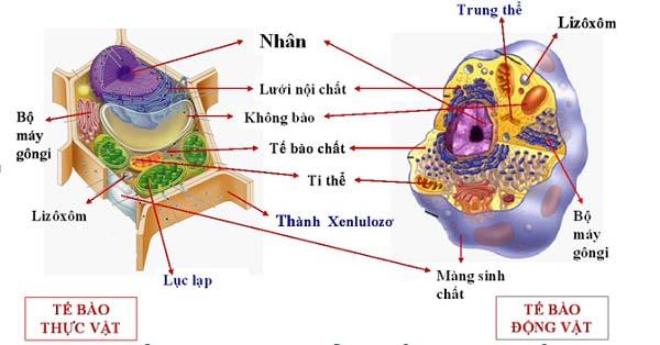so sánh tế bào nhân sơ và nhân thực và hình ảnh tế bào nhân thực