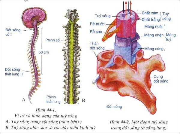 đặc điểm cấu tạo và chức năng của tủy sống