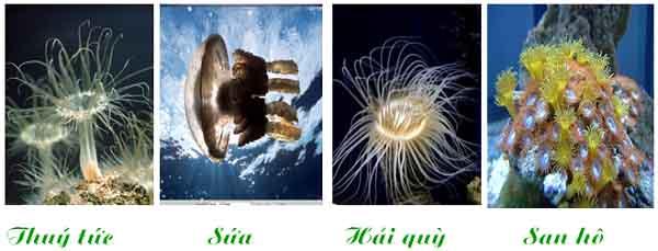 đặc điểm chung và vai trò của ngành ruột khoang và một số loài đại diện