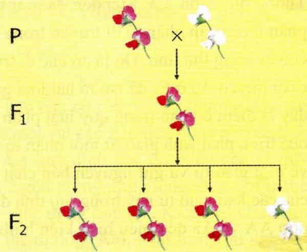 thí nghiệm của menđen về lai 1 cặp tính trạng