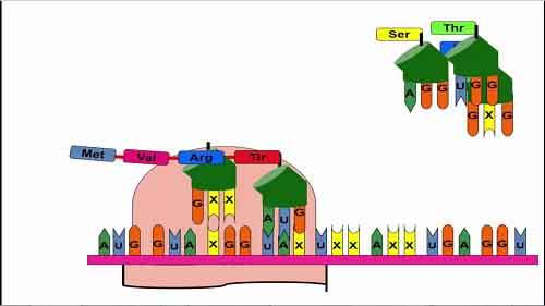 diễn biến quá trình dịch mã trong mối quan hệ giữa gen và tính trạng