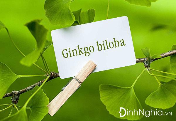 tìm hiểu ginkgo biloba là thuốc gì