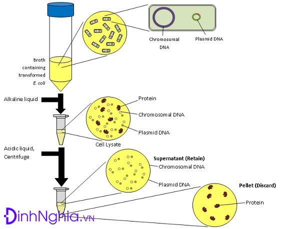ứng dụng của plasmid là gì