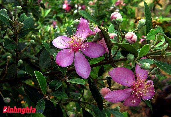 màu tím hoa sim hữu loan và hình ảnh minh họa